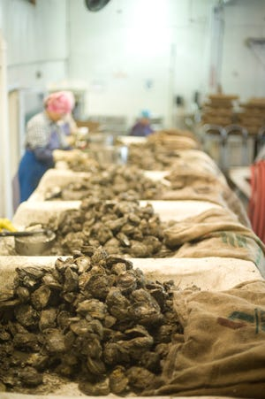 Oysters are prepared for sale at a Louisiana processing plant.