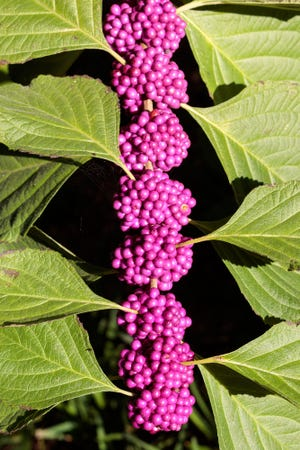 A beautyberry plant in autumn when it's most purply.