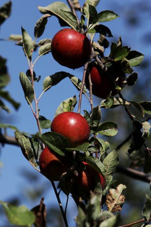 Apples hang from a tree in the apple orchard Friday at James Madison Enrichment Center. The Burlington School district is inviting members of the public to schedule an appointment to pick the apples.