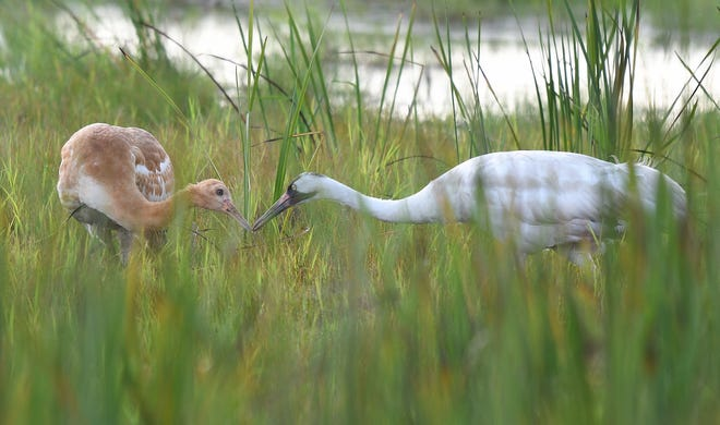 A female whooping crane feeds its chick at Horicon National Wildlife Refuge near Mayville, Wis. The chick was the first to fledge at the expansive wetland, a hopeful milestone for the endangered species.