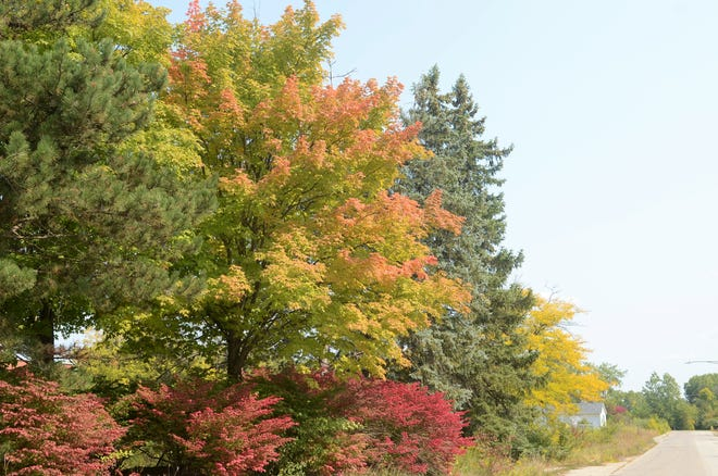 Trees are gaining their fall tint along Hoffman Street in Marysville on Sept. 24, 2020.