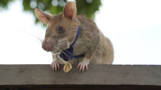 An undated handout picture released by UK veterinary charity PDSA on September 25, 2020 shows Magawa, an African giant pouched rat wearing his gold medal received from PDSA for his work in detecting landmines in Siem Reap, Cambodia.