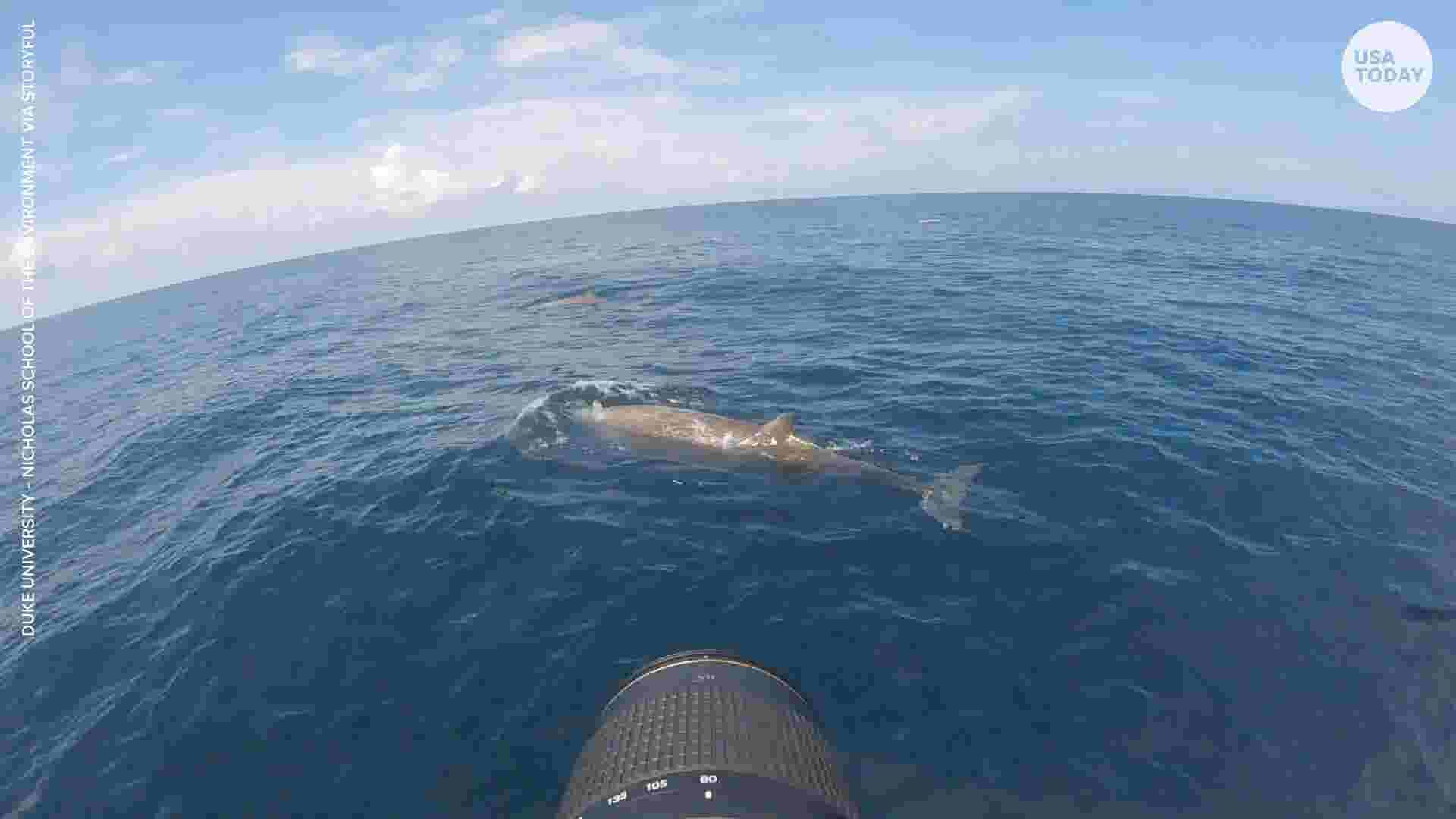 Cuvier's beaked whale breaks record with almost 4-hour dive