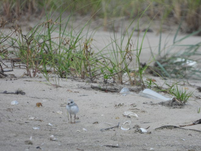 Piping plover chick, 18 days old.