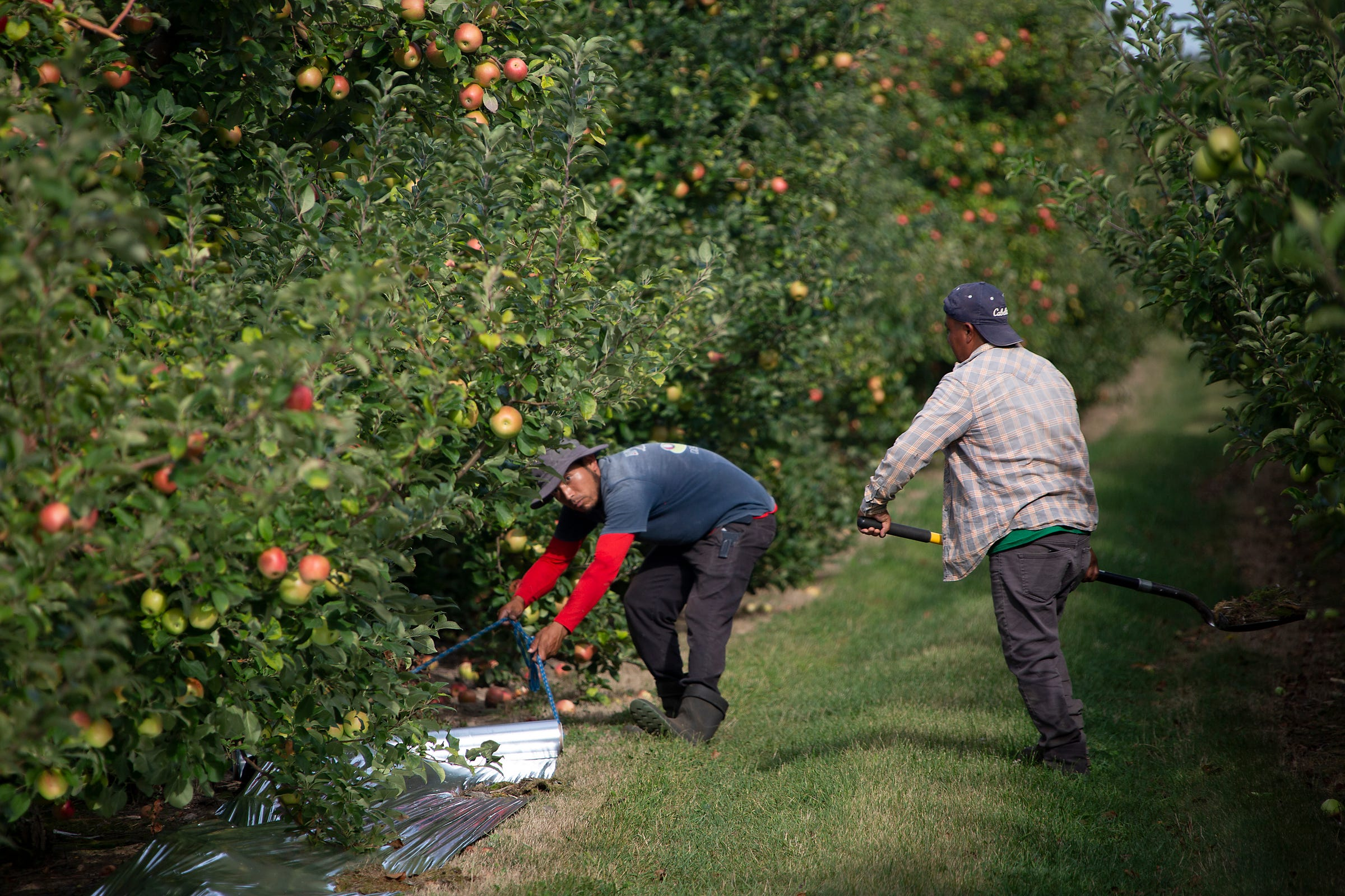 Migrant workers lay down a reflective material to help apples with ripening on Aug. 31, 2020, at a farm near Grand Rapids.