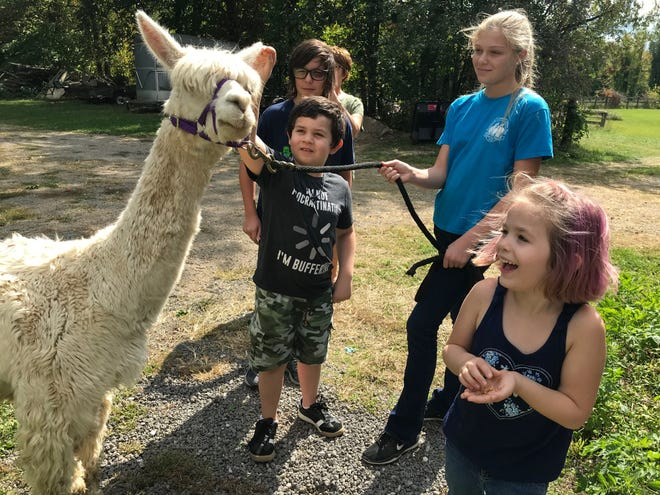 Harley Stone, 6, of Lexington, at right, enjoyed meeting Zumia a white Suri Alpaca at Shady Lane Alpacas at 3073 Gass Road. The open house, which is free, continues Sunday from noon to 6 p.m. Taylor Bennett, holds the reins. Lou Whitmire/News Journal