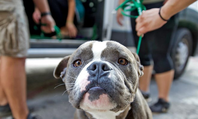 A dog attends an adoption event held by Cassie's Place animal rescue in front of Man Made Fitness in downtown San Angelo on Saturday, Sept. 26, 2020.