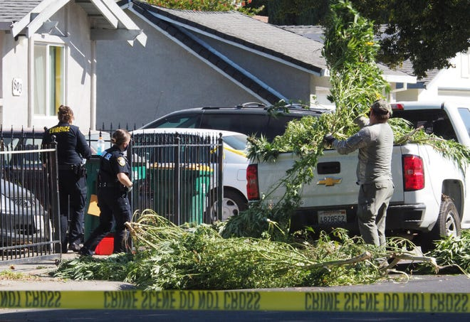 Officers with the County Metro Narcotics Task Force remove a large quantity of mature marijuana plants from a home in the 2900 block of East Longview Avenue on Sunday morning where two people were shot, one fatally. A 63-year-old woman died at an area hospital while a 36-year-old man was reported in stable condition.