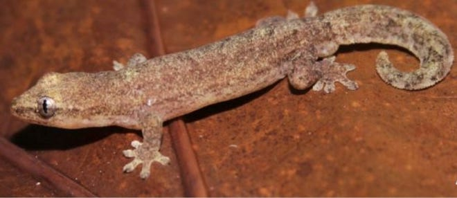 Pictured here is a male Gehyra insulensis, a gecko. Victor Valley College students and biology professor Dr. Hinrich Kaiser published the first record of G. insulensis for Arno Atoll and the Marshall Islands after a study abroad trip in 2016.