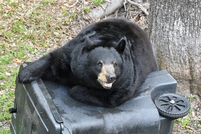 A bear rests on a garbage can.
