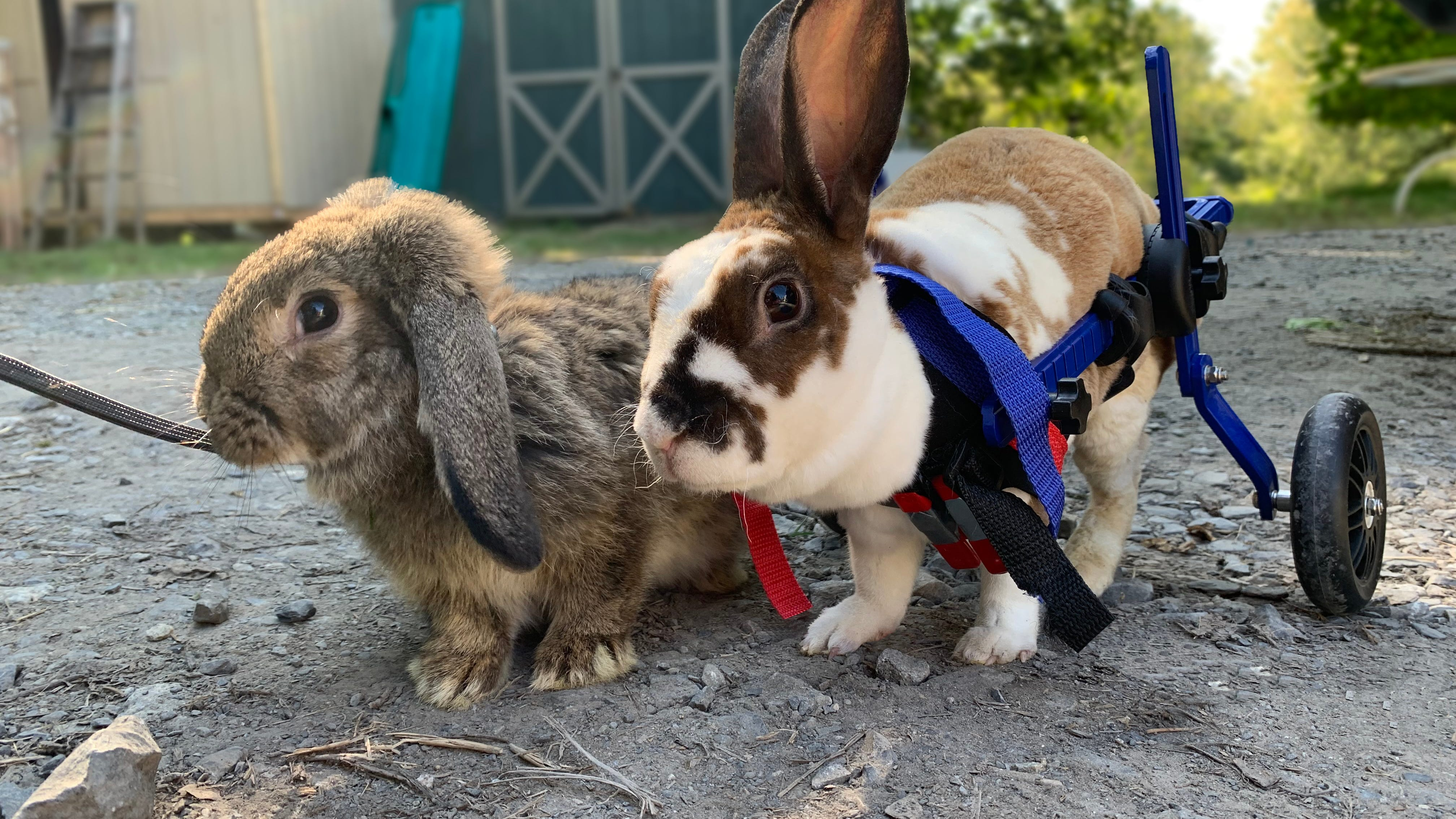 Finch and Rex came to Reenies Rabbit Rescue at different times, from different places, both suffering from paralysis of their back legs. Finch uses an H-Harness when out for a walk, while Rex occasionally uses his wheelchair to gain strength in his legs. They became bonded during their recoveries but are not yet available for adoption.