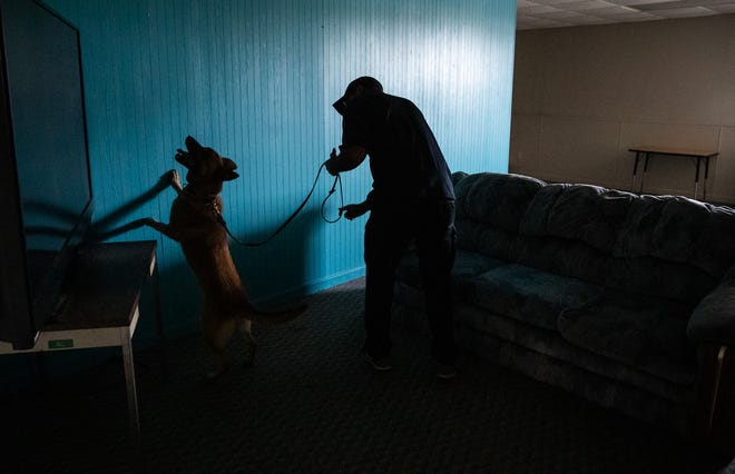"""Chris Topher, of Tye, Texas, guides his new detection K9, Ena, through a room at Vohne Liche Kennels on Wednesday, Sept. 9, 2020. Ena climbs up on a wall as she begins to find a scent. During the search, K.C. Licklider, son of kennel owner Ken Licklider, gives instant feedback and tips on how to better use a K9 for detection. """"I've got 30 years on him,"""" laughed Ken. """"I'm so proud, he knows this. I listen to him, he knows it."""""""