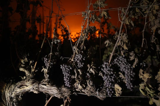 ST.  HELENA, CALIFORNIA - SEPTEMBER 27: Grapes hang from a vine in the Chateau Boswell wine cellar as the Glass Fire moves through the area on September 27, 2020 in St. Helena, California.  The fast-moving glass fire burned more than 1,000 acres and destroyed homes.  Much of Northern California is under a red flag warning of high fire risk until Monday night.  (Photo by Justin Sullivan / Getty Images) ORG XMIT: 775568437 FILI IDENTIFIER: 1277067790