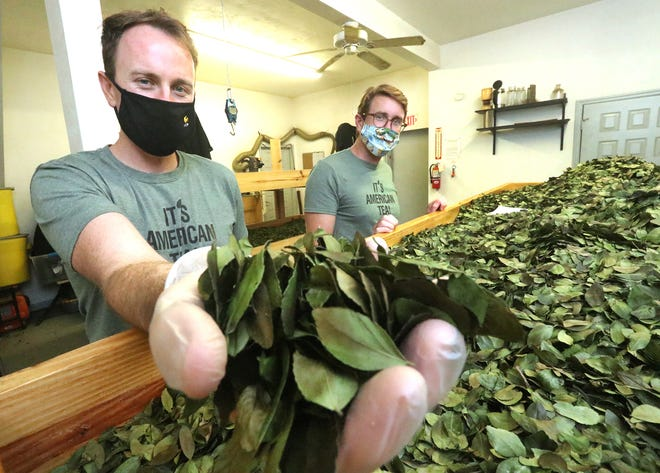 Kyle White holds a handful of Yaupon Holly tea leaves as brother Bryon White looks on at Yaupon Brothers American Tea Company in Edgewater on Tuesday, Sept. 29, 2020. Sales from two of their tea brands will go to support local businesses impacted by COVID-19.