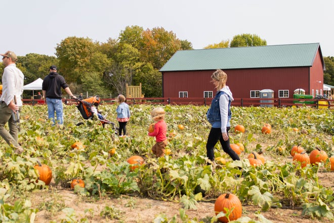 Pumpkins are picked at Wills Family Orchard in Adel.