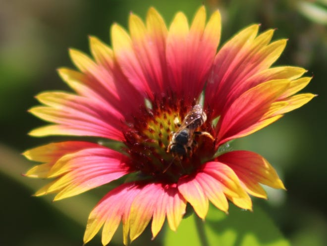 """This bee was collecting nectar from a native Florida gaillardia plant here in Bay Point."" Submitted by Becky Ann Litke of Panama City Beach"