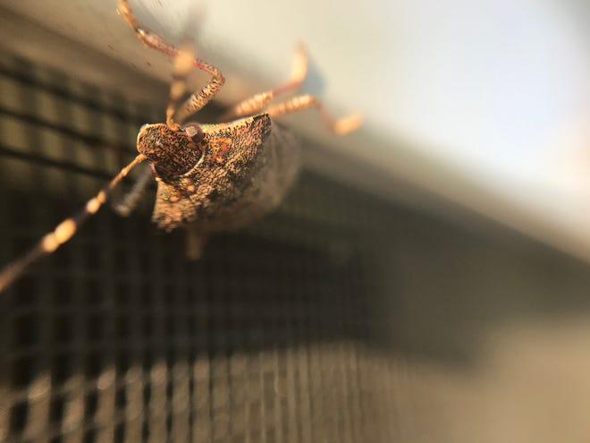 A brown marmorated stink bug, or Halyomorpha halys, crawls near a window screen.