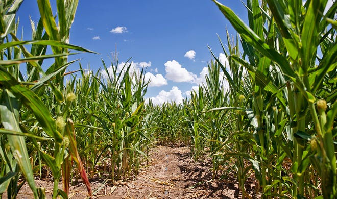 The Circle S corn maze near Wall, seen in this Aug. 27, 2020 photo, opens for business Sept. 30.