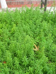 Plants can be multi-functional in the garden. Herbs such as oregano make fabulous groundcovers in sunny dry beds. Originating from the Mediterranean, oregano is perennial, frost tolerant, and blooms on and off throughout the year in Treasure Coast gardens.