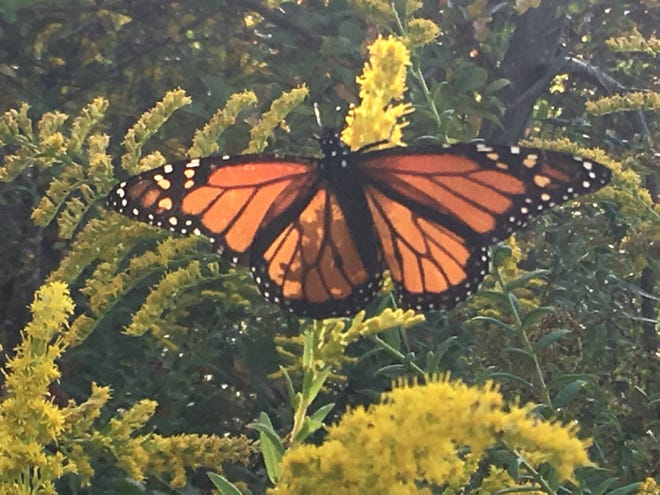 Butterflies like this monarch, photographed on a goldenrod plant at Millstone Watershed Reserve in Pennington, N.J., are in decline due to a variety of man-made threats.