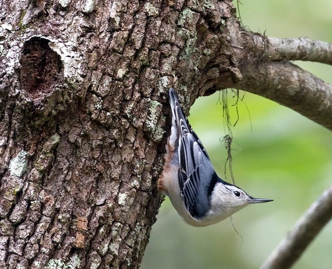 White-breasted nuthatch poses in his characteristic head-down posture.