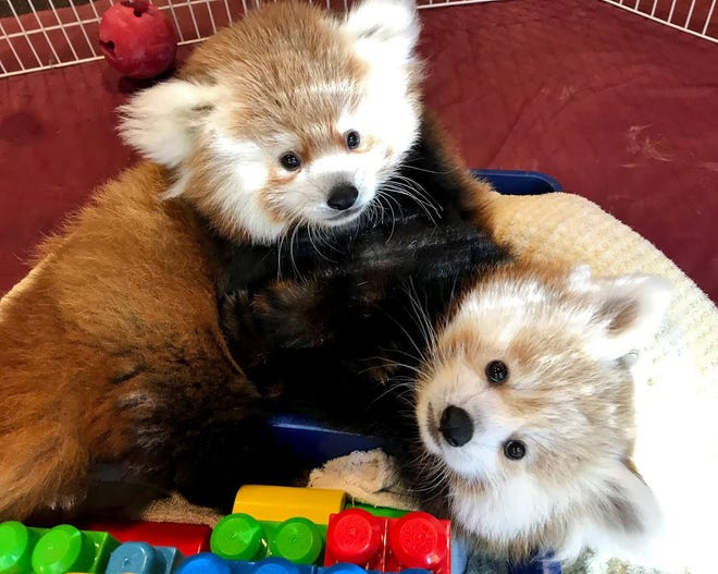 This is a contributed photo taken Wednesday of Neo, top, and Joe, bottom, two young red pandas, born this summer, who now live at the Erie Zoo. Joe came to Erie from Zoo Knoxville in Knoxville, Tennessee. Neo was born at the Erie Zoo. Both will be on display at the Erie Zoo beginning Thursday.