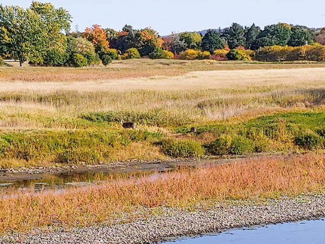 Brush has grown up along parts of the exposed riverbed on the Genesee River during the dry weather this summer and fall.