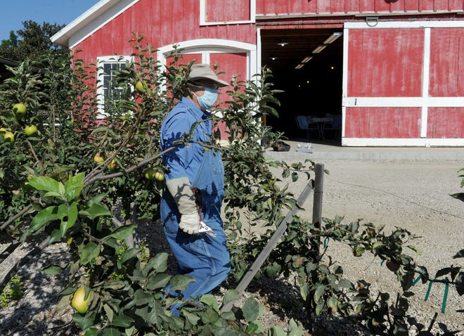 Michael Murray, a master gardener, seen in 2020 pruning apple trees at the Hansen Agricultural Research and Extension Center near Santa Paula. Master Gardeners of Ventura County will be hosting three free composting workshops during October.