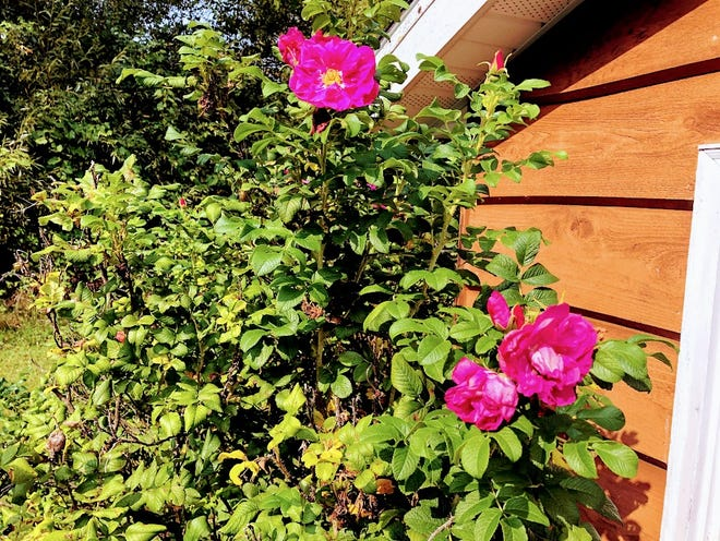 This 50 year old rose bush requires little care but provides so much cheer.