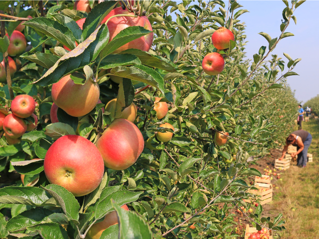 Apple Picking During The Covid 19 Pandemic What You Need To Know