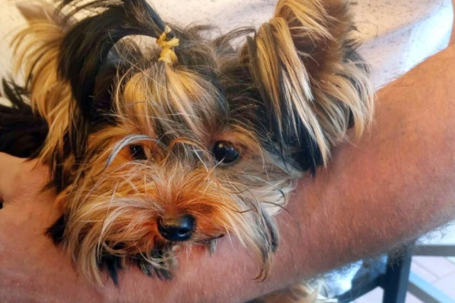 This undated photo provided by Elena Kurakova shows Uti-Puti Knopochka, a Yorkshire terrier that was among 11 dogs flown into the United States from Moscow via courier on Sept. 8, 2020. The dog died in September at a private facility at New York's John F. Kennedy International Airport used to hold animals from overseas that are denied entry by federal officials. A necropsy found that the dog tested positive for the highly contagious canine parvovirus. (Elena Kurakova via AP)