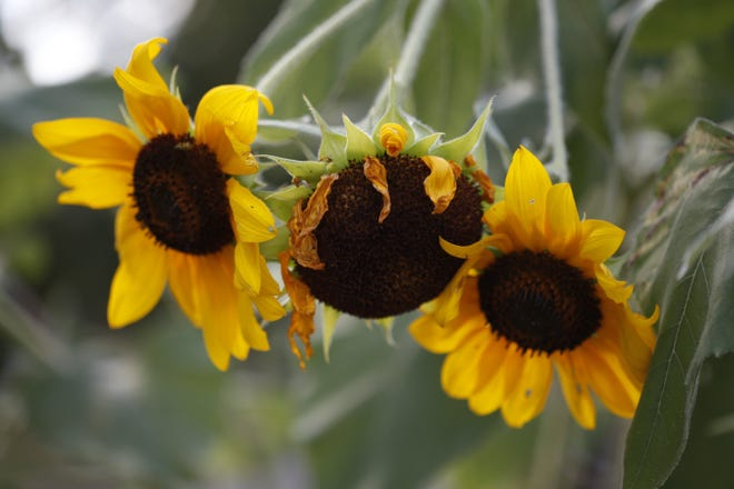 Don't miss out on a chance to toast sunflowers