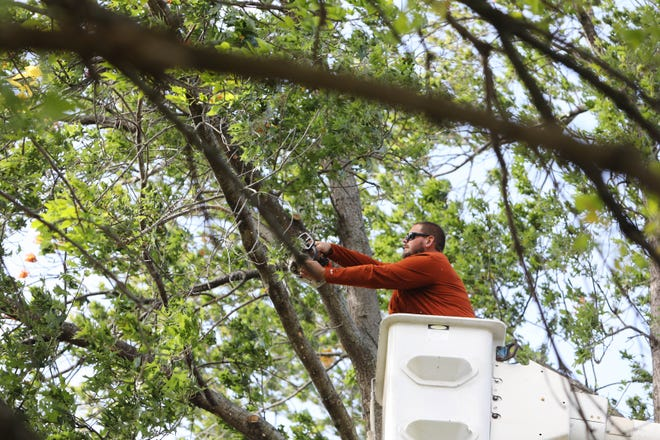 Ben Skelley, owner of Skelley Tree Service of Burlington, thins out limbs on a Pin Oak tree Wednesday in Burlington. Skelley and his crew were tending to two trees in a clients yard, the first of three jobs they had scheduled for the day.