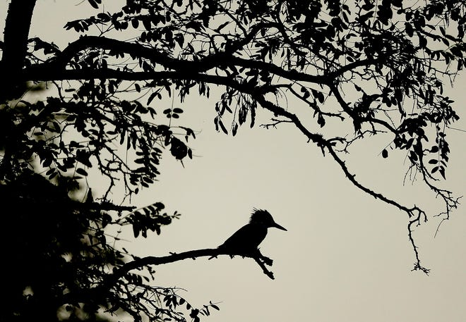 A belted kingfisher is silhouetted against the hazy sky while perched in a tree along Bainbridge Island's Eagle Harbor on Wednesday, Sept. 30, 2020.