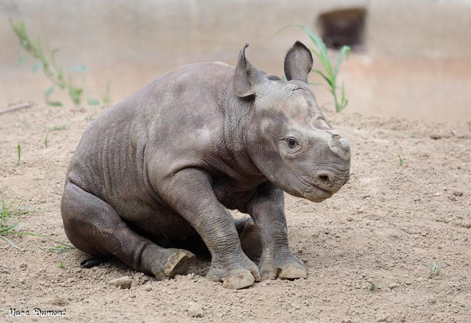 "The Cincinnati Zoo's baby eastern black rhinoceros has been named ""Ajani Joe."""