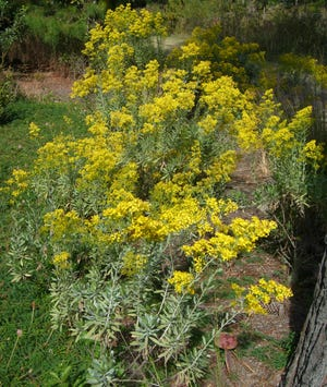 Woody goldenrod is protected in places like St. George Island.