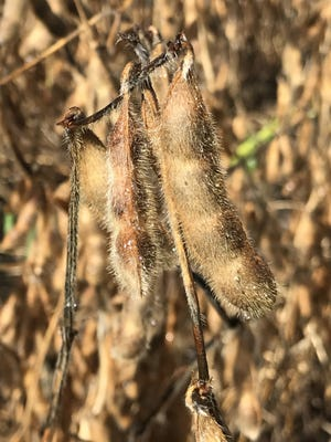 The spring crop insurance soybean-to-corn price ratio of 2.59 – the highest in more than 30 years – signals the potential for more soybean acres.