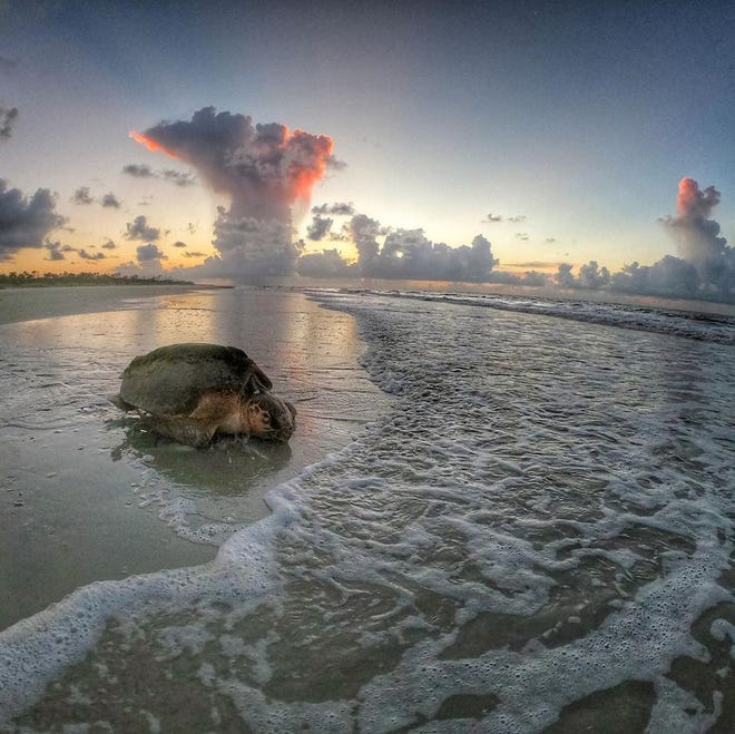A loggerhead returns to the water after digging her nest on the beach at Wassaw Island.