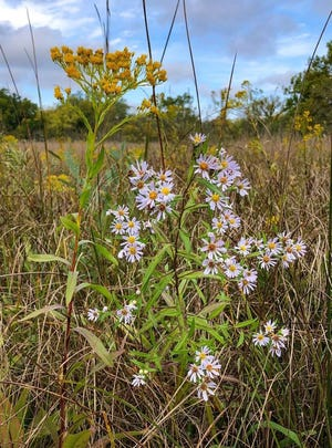 Willow-leaved asters and Ohio goldenrod are among the many beautiful fall wildflowers that can be seen around the state. [Photo courtesy of Ohio Department of Natural Resources]