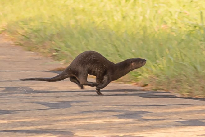 A river otter crosses a road near Walborn Reservoir in Lexington on Sept. 27. It's the first time in years that river otters have been seen in any of the Stark Parks.