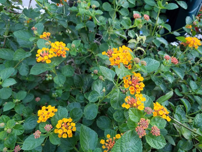 Lantana camara is an invasive species of lantana that is poisonous to people and animals.