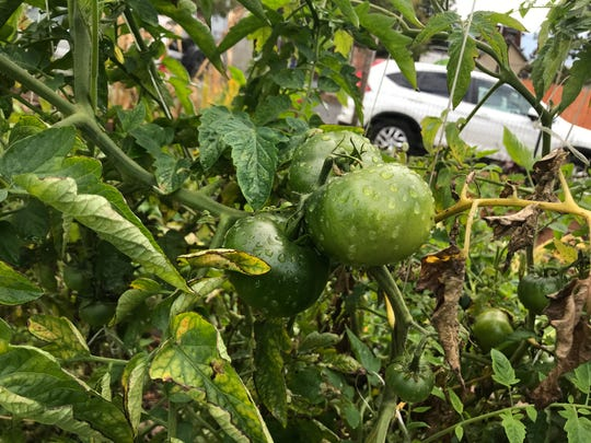 The remnants of a morning rain remain on a green tomato at Resilient Roots Farm.