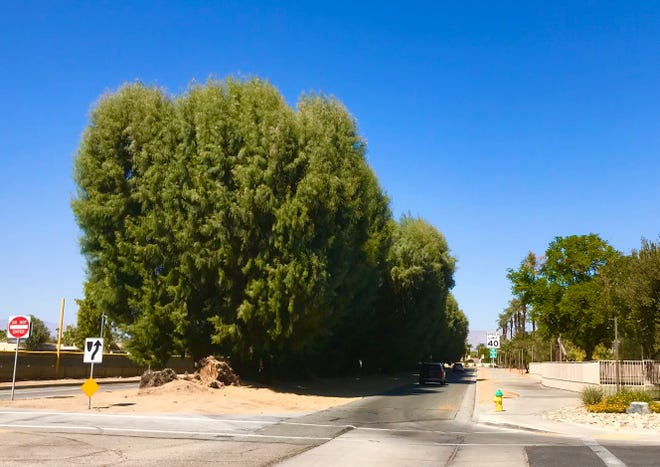 This stand of large tamarisk trees is scheduled to be removed as part of the San Pablo Avenue redo in Palm Desert.