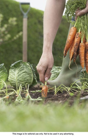 Vegetable gardens need not cease when the last days of summer vanish. Fall produce is delicious and can be easily planted and harvested even after the first frost.