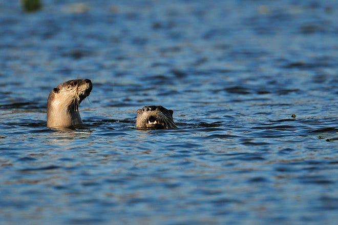 River otters frolic at Tippecanoe River State Park near Battle Ground, Ind.  [Frank J. Oliver/Department of Natural Resources via AP]