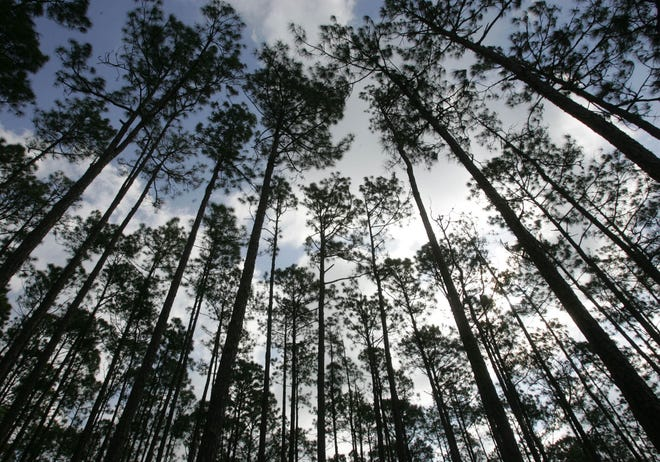 Pine trees reach for the sky in the Longleaf Pine Preserve, part of the Volusia Conservation Corridor. Volusia Forever funded most of the cost to purchase the land that makes up the preserve. ( DAVID TUCKER/NEWS-JOURNAL)