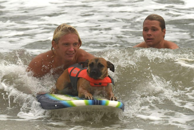 Will Parker and Patrick Furbay with Carolina Beach Ocean Rescue help Patti Bassett 's dog Lil Bit learn how to surf Saturday Oct. 3, 2020. Lil Bit was taking part in the 3rd Annual Surf Dog Experience near the Carolina Beach Pier along Pleasure Island. [KEN BLEVINS/STARNEWS]