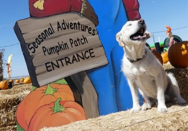 Stu Miller's Seasonal Adventures Pumpkin Patch in Hesperia recently received approval to open, with restrictions, from San Bernardino County Health officials. The seasonal business opens Sunday, Oct. 4, 2020.