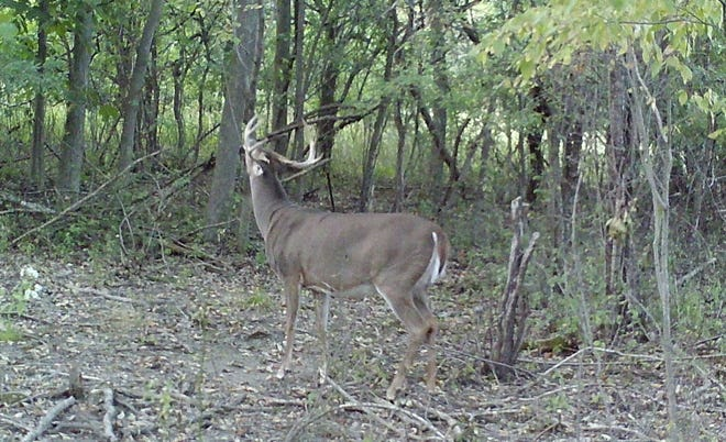 A wide-racked eight-point works over an overhanging branch at a mock scrape in late September.