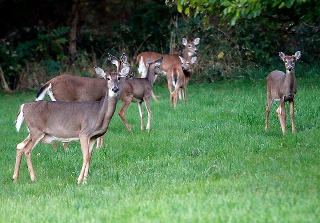 A group of six deer are seen in an empty lot on Orange Road near Belle Avenue on Monday evening.